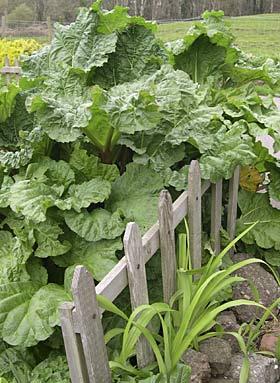 rhubarb in abundance