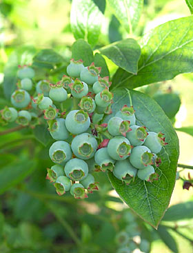 Blueberries starting to ripen.