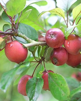 red crab apples on the tree