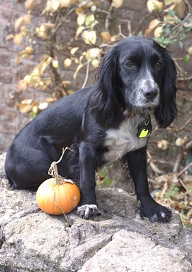 Pumpkin guard dog
