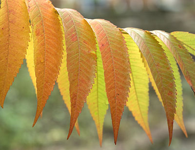 The leaves of the sumac tree in autumn
