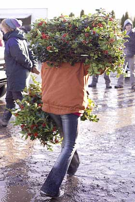 carrying bundles of holly bought at auction december 2008