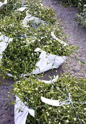 bundles of mistletoe at tenbury wells mistletoe auction 2008