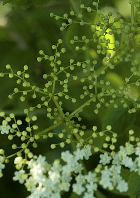 elderflower blossom just starting to come out