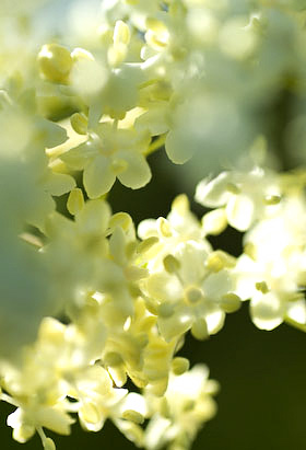 elderflowers in close up.