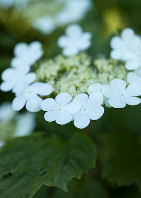 viburnum opulus in the hedgrow