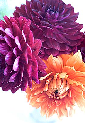 dahlias at the village show