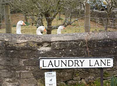 a gaggle of geese down Laundry Lane
