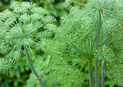 angelica seed heads