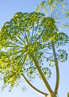 angelica seed heads on sunny afternoon in July