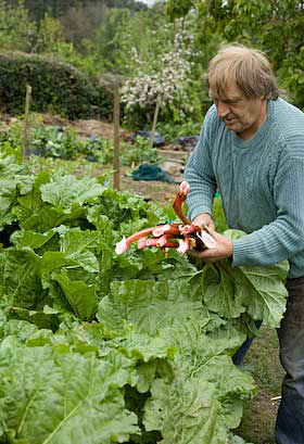 harvesting rhubarb at forest of dean smallholding