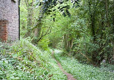 wild garlic grows profusely once established