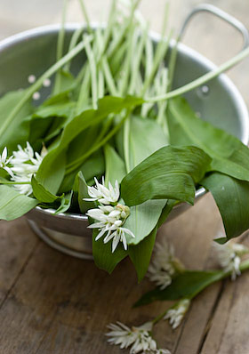 wild garlic freshly foraged in May