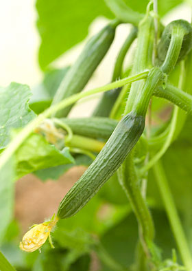 young cucumbers starting to swell