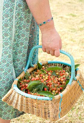 freshly picked cherries in a basket