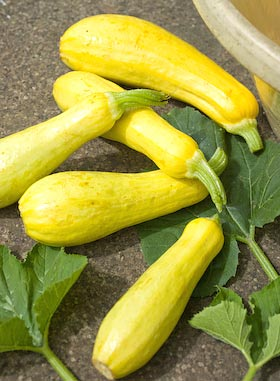 Early Prolific straightneck summer squashes