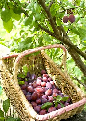 a basket of blaisdon plums