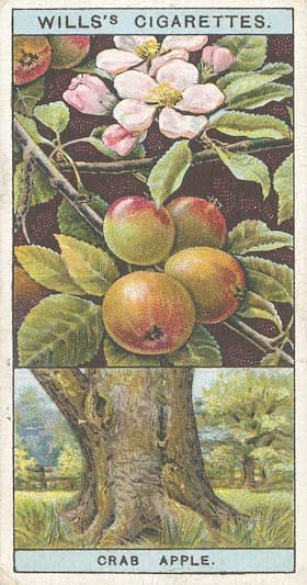 Wills cigarette card from 1924 of crab apple