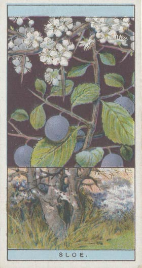 Wills cigarette card from 1924 of sloes