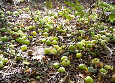 wild crab apples on the woodland floor