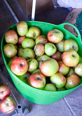 A trug full of Bramley apples stored in the shed