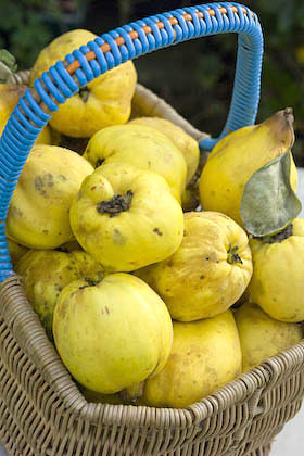A basket full of quinces