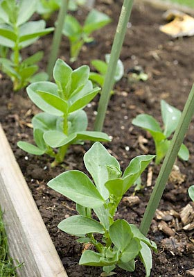 edging the beds with broad beans
