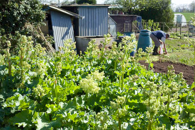rhubarb in flower and going to seed on Aylburton allotment