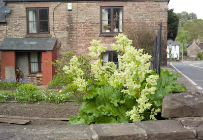 rhubarb in flower and going to seed
