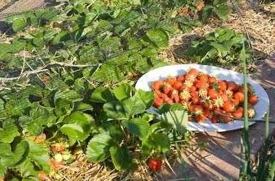 ripe strawberries ready to harvest