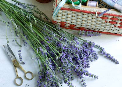 lavender freshly picked