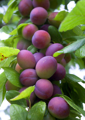 Blaisdon plums ripening on the tree