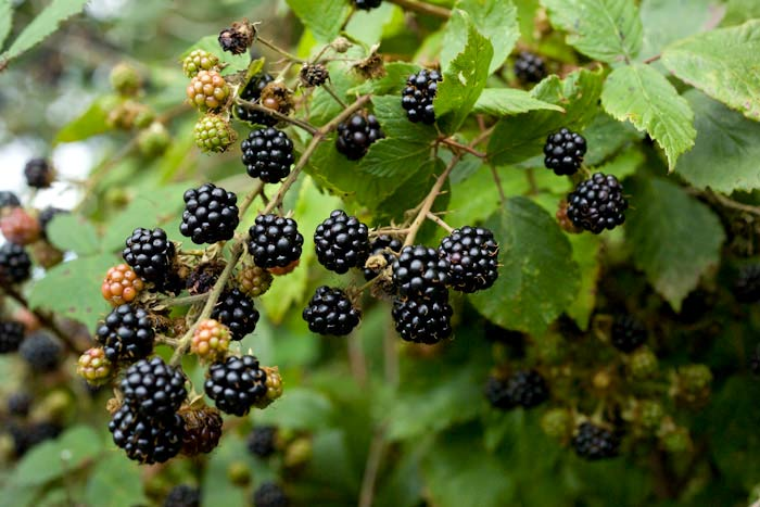blackberries growing in the hedgerow